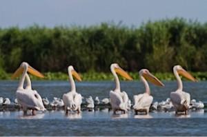 Pelicans on River Danube