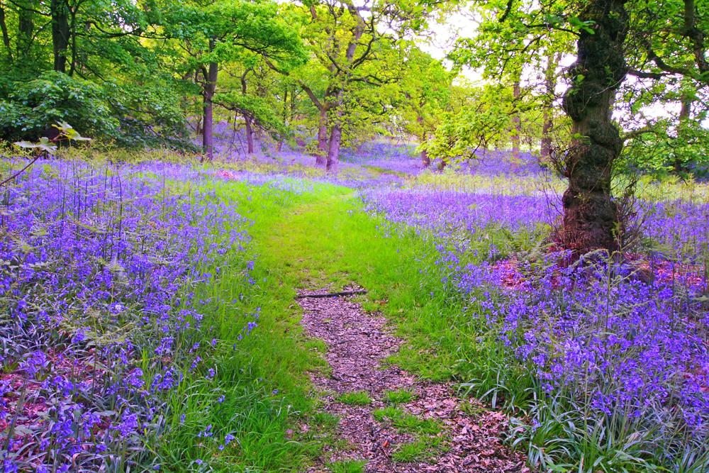 Bluebells in Scotland