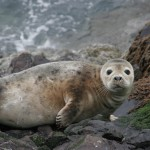 Common-seal-Caledonian-Adventures-resized-150x150