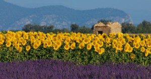 Provence Lavender & Sunflowers