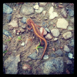 Dan identified this as a newt
