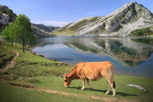 1500-SS_cow-asturias_62516827