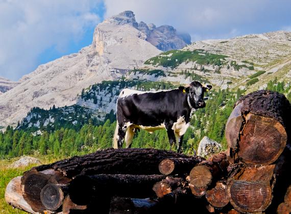 Italian Mountain Cow