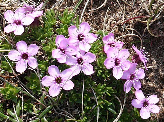 Moss campion is an example of an alpine plant found in Scotland.