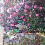 Glendurgan Fox
