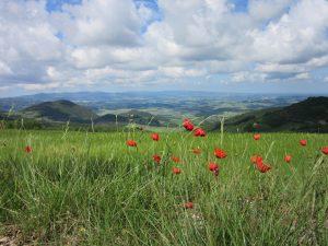 Poppys in Tuscany