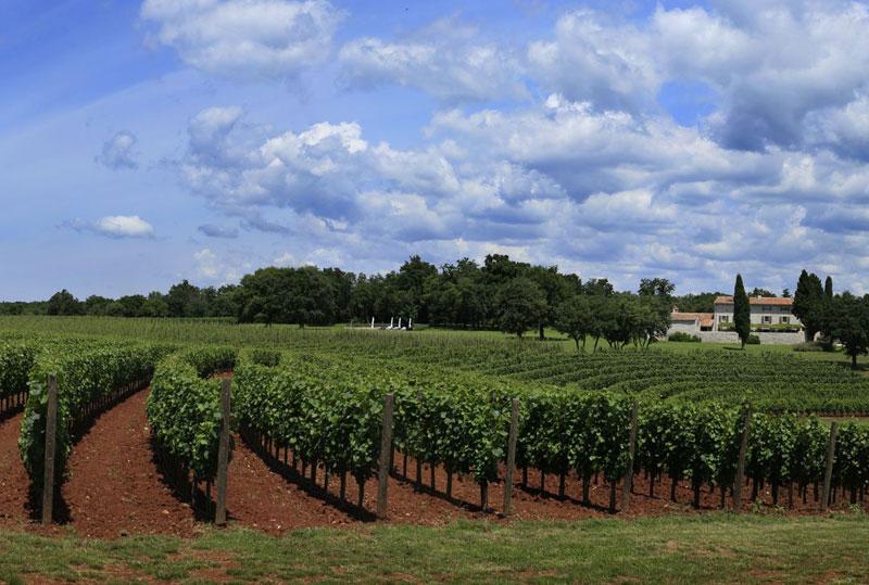 An Istrian Vineyards
