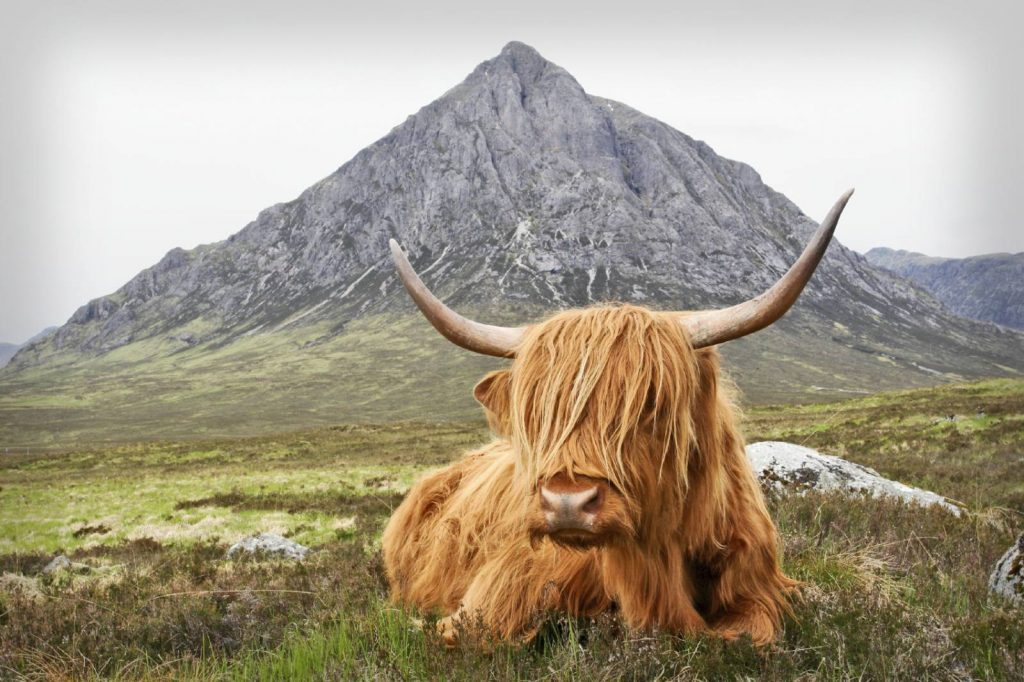 A highland cow sits in front of Buachaille Etive Mor