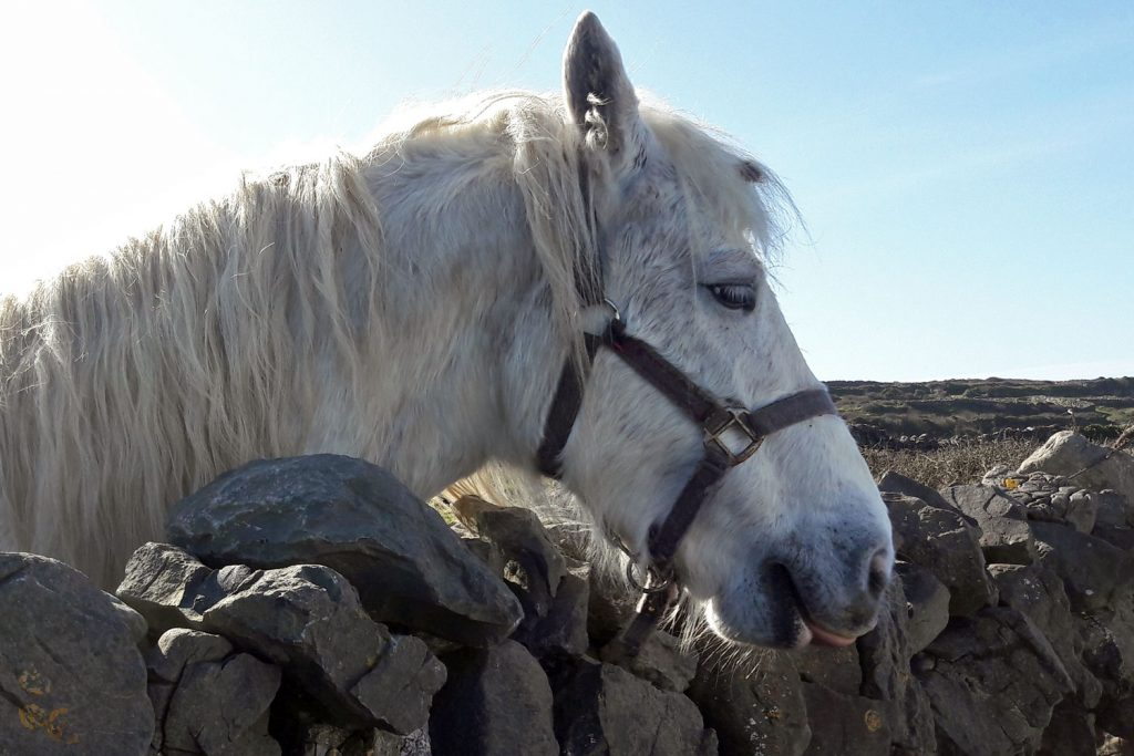 Pony on Inishmore