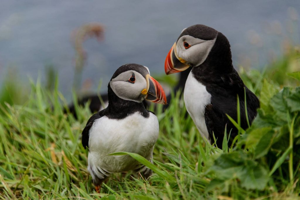 Two puffins on the Isle of Staffa, Scotland