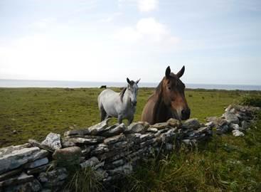 Two horses in a field in Ireland