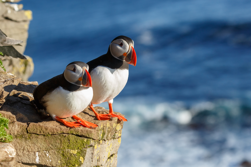 puffins on a rock in fife