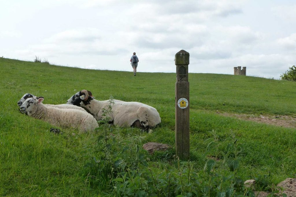 sheep and walker on cotswold way