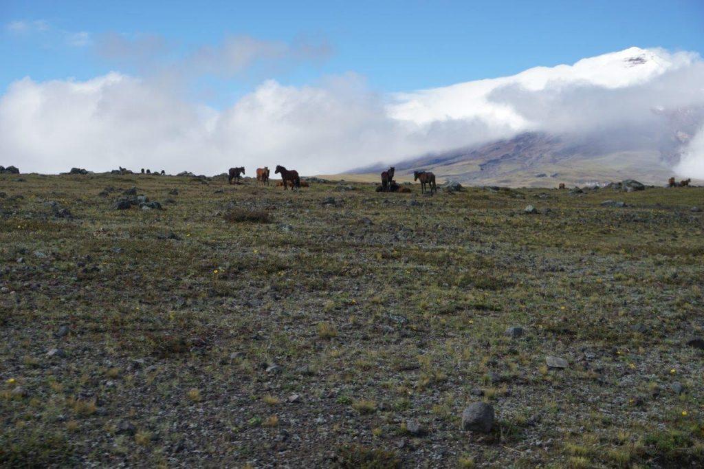 Wild horses Ecuador