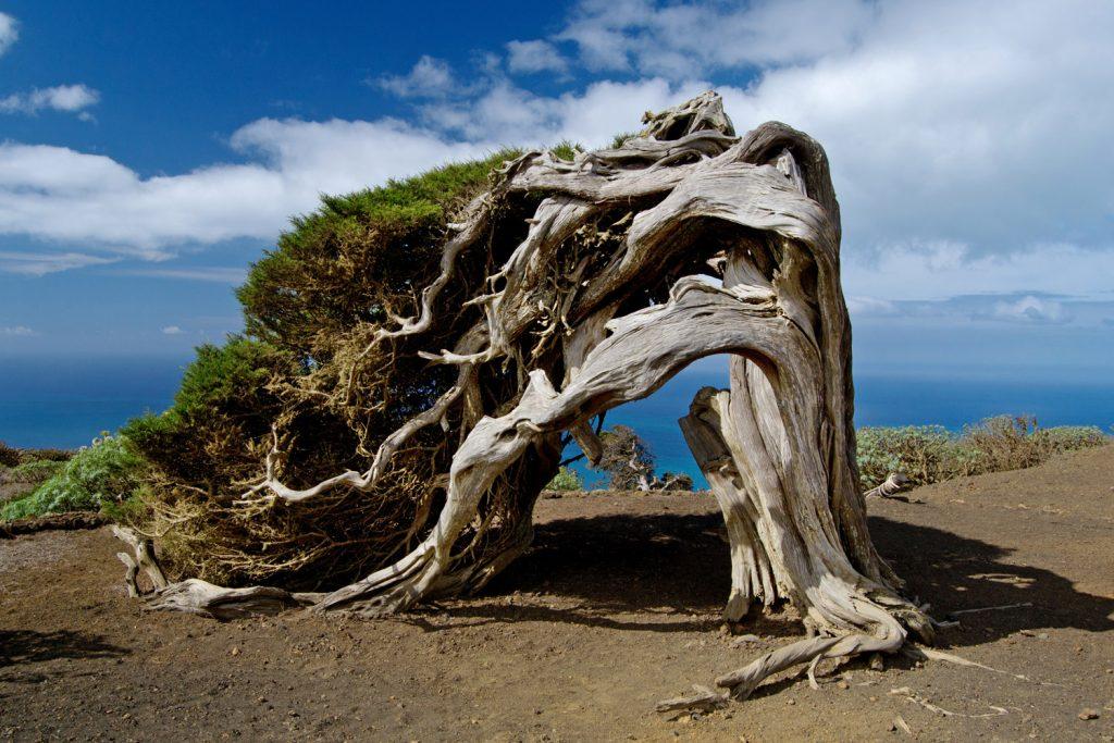 Cypress Tree El Hierro