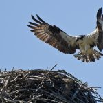 Osprey sighting in Scotland
