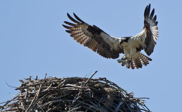 Osprey sighting in Scotland