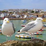 Gulls in Cornwall