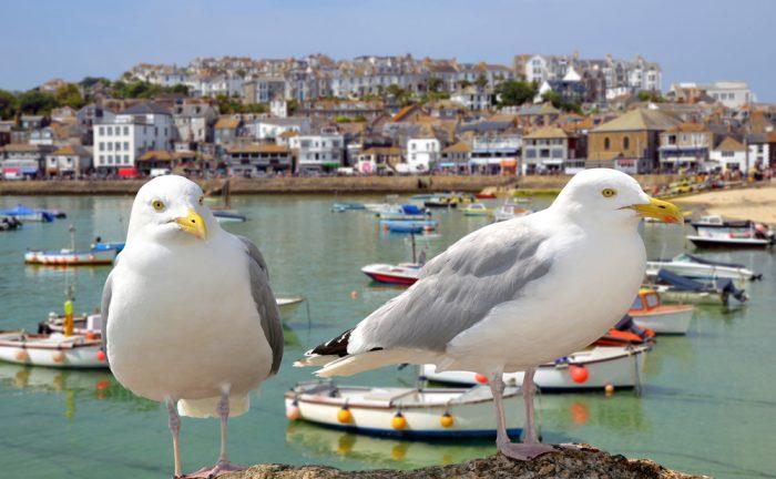 Gulls in Cornwall